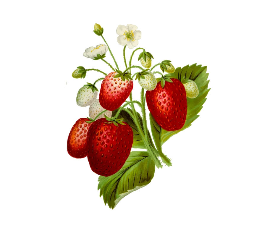 drawing of strawberry plant. strawberries and breast cancer link depends on variety